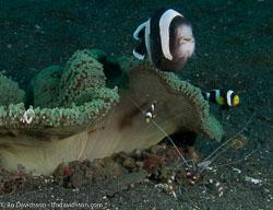 BD-090925-Lembeh-9253905-Amphiprion-polymnus-(Linnaeus.-1758)-[Saddleback-clownfish].jpg